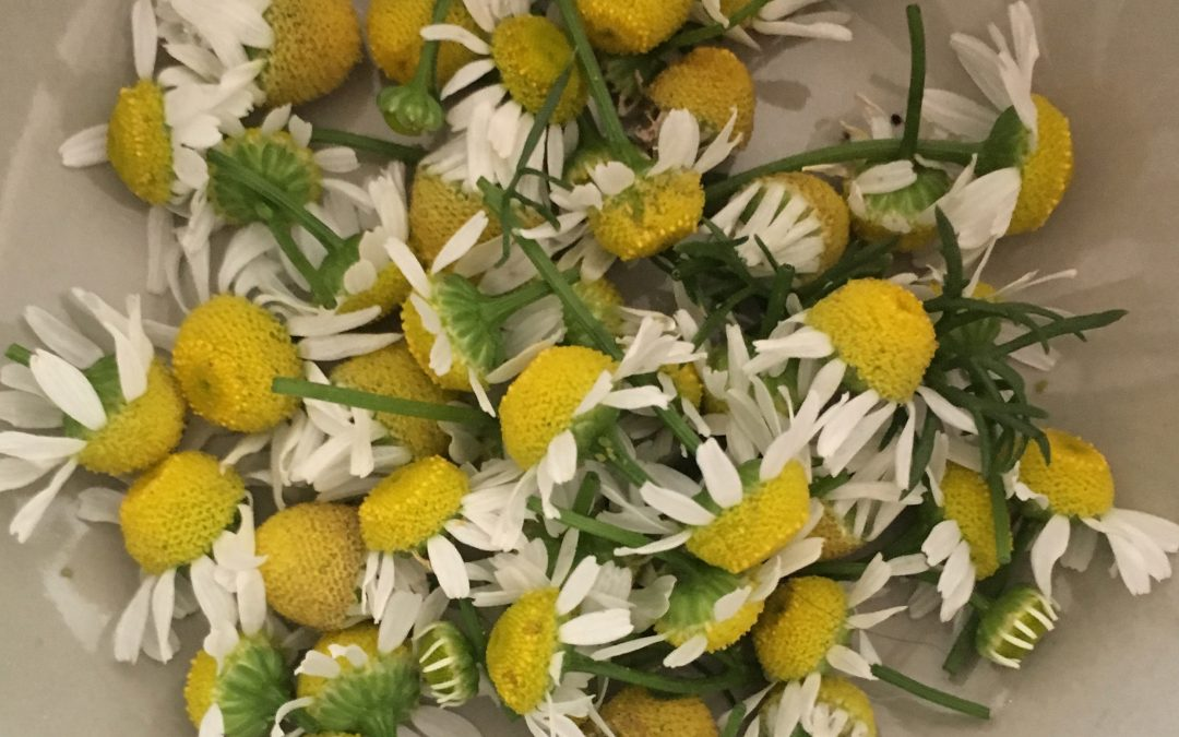 Chamomile: a Healing Herbal Powerhouse